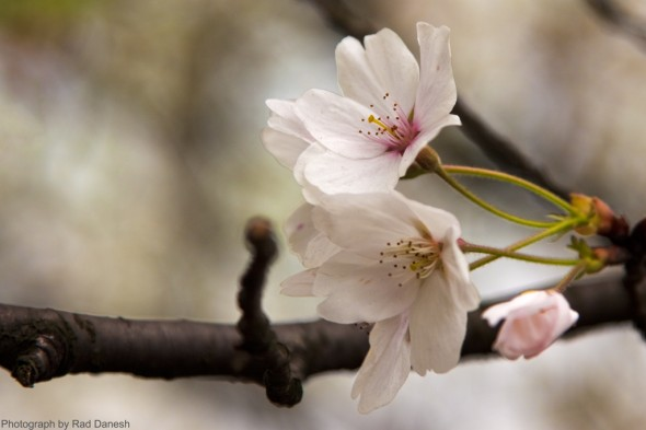 Cherry Blossoms – Hangzhou